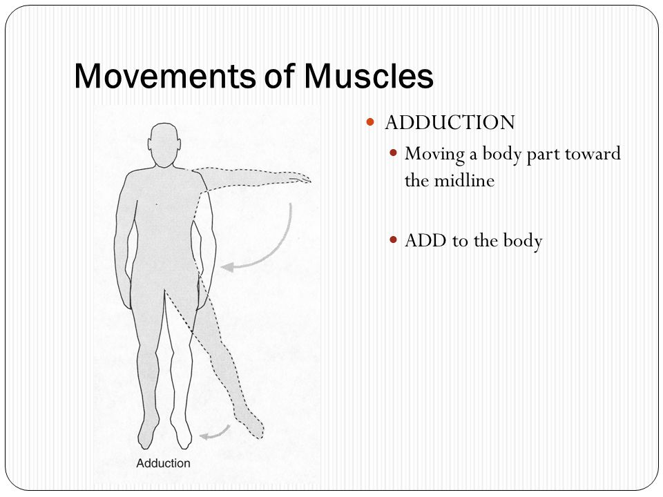 Movements of Muscles ADDUCTION Moving a body part toward the midline