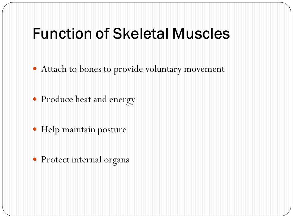 Function of Skeletal Muscles