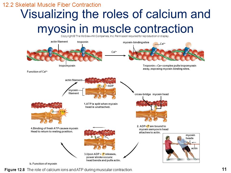 Visualizing the roles of calcium and myosin in muscle contraction