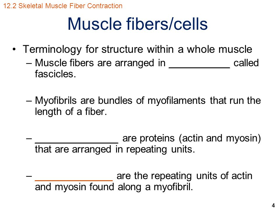 Muscle fibers/cells Terminology for structure within a whole muscle