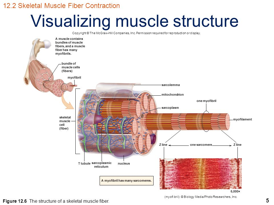 Visualizing muscle structure