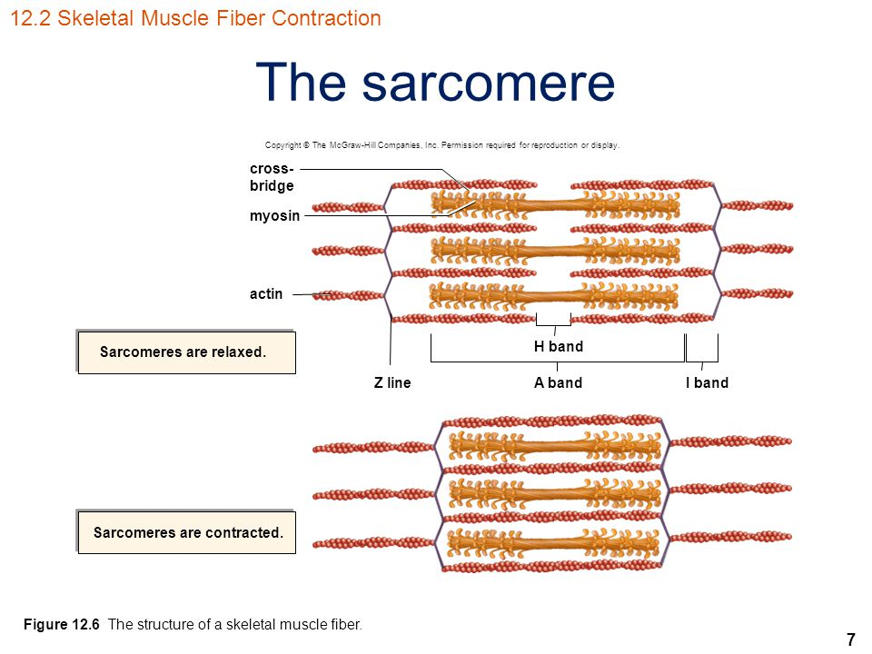 Sarcomeres are relaxed. Sarcomeres are contracted.