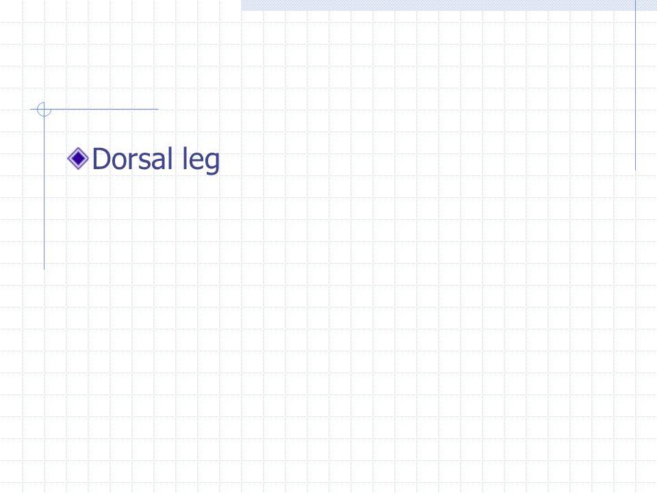 Dorsal leg