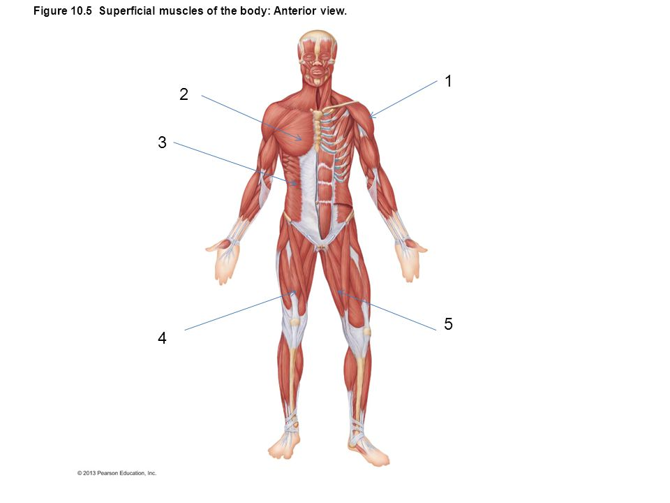 Figure 10.5 Superficial muscles of the body: Anterior view.