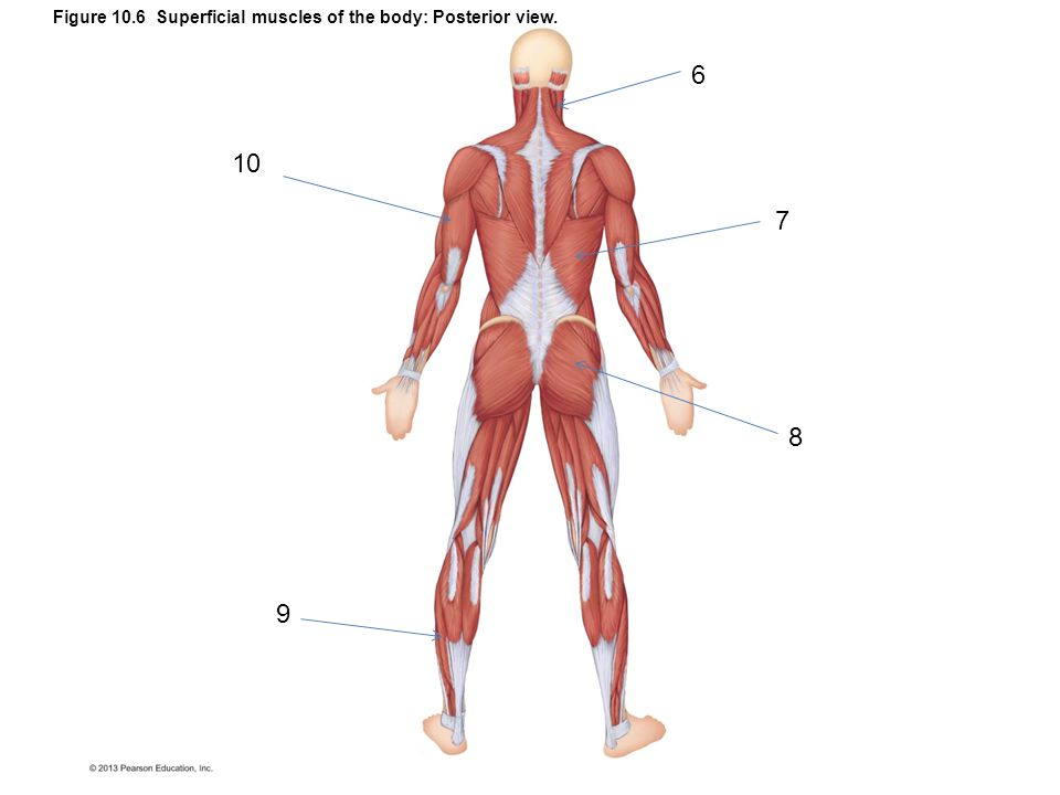Figure 10.6 Superficial muscles of the body: Posterior view.