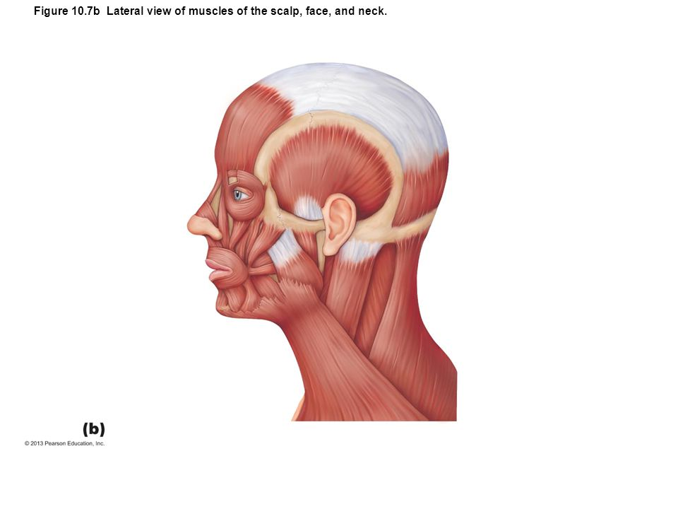 Figure 10.7b Lateral view of muscles of the scalp, face, and neck.