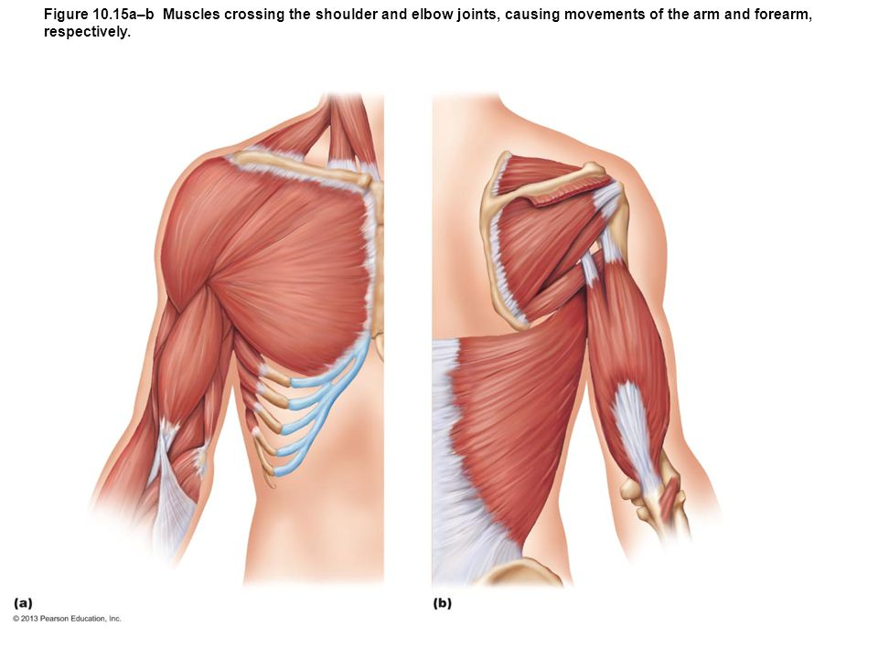 Figure 10.15a–b Muscles crossing the shoulder and elbow joints, causing movements of the arm and forearm, respectively.