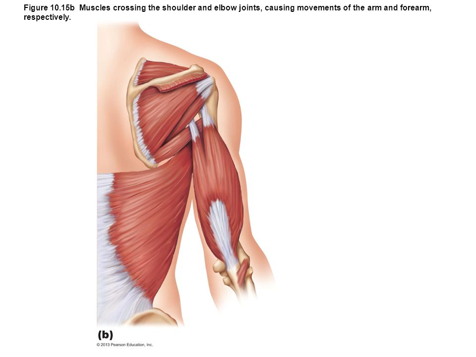 Figure 10.15b Muscles crossing the shoulder and elbow joints, causing movements of the arm and forearm, respectively.