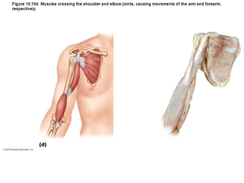 Figure 10.15d Muscles crossing the shoulder and elbow joints, causing movements of the arm and forearm, respectively.