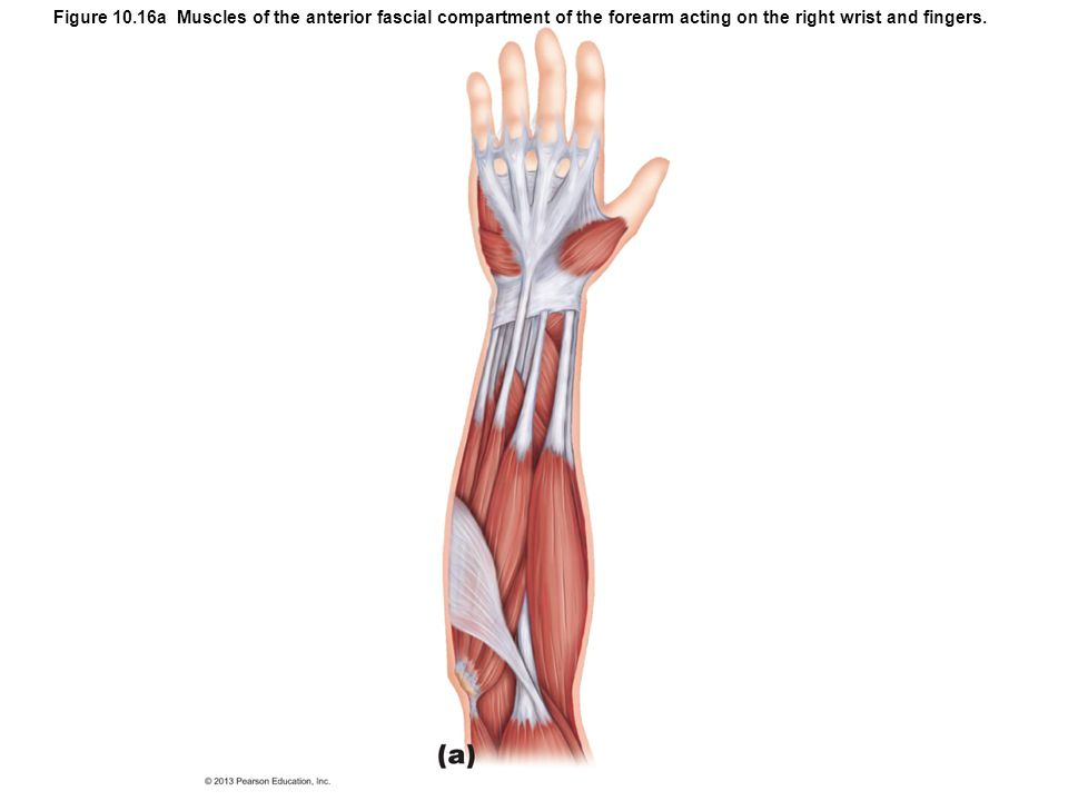 Figure 10.16a Muscles of the anterior fascial compartment of the forearm acting on the right wrist and fingers.