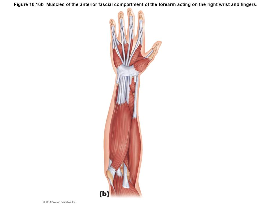 Figure 10.16b Muscles of the anterior fascial compartment of the forearm acting on the right wrist and fingers.
