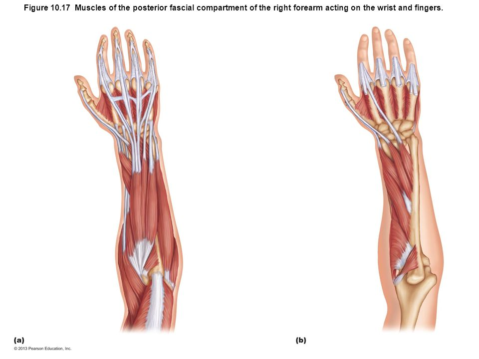 Figure 10.17 Muscles of the posterior fascial compartment of the right forearm acting on the wrist and fingers.