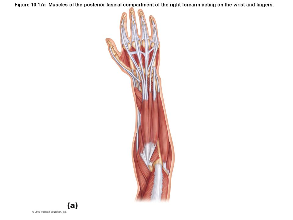 Figure 10.17a Muscles of the posterior fascial compartment of the right forearm acting on the wrist and fingers.