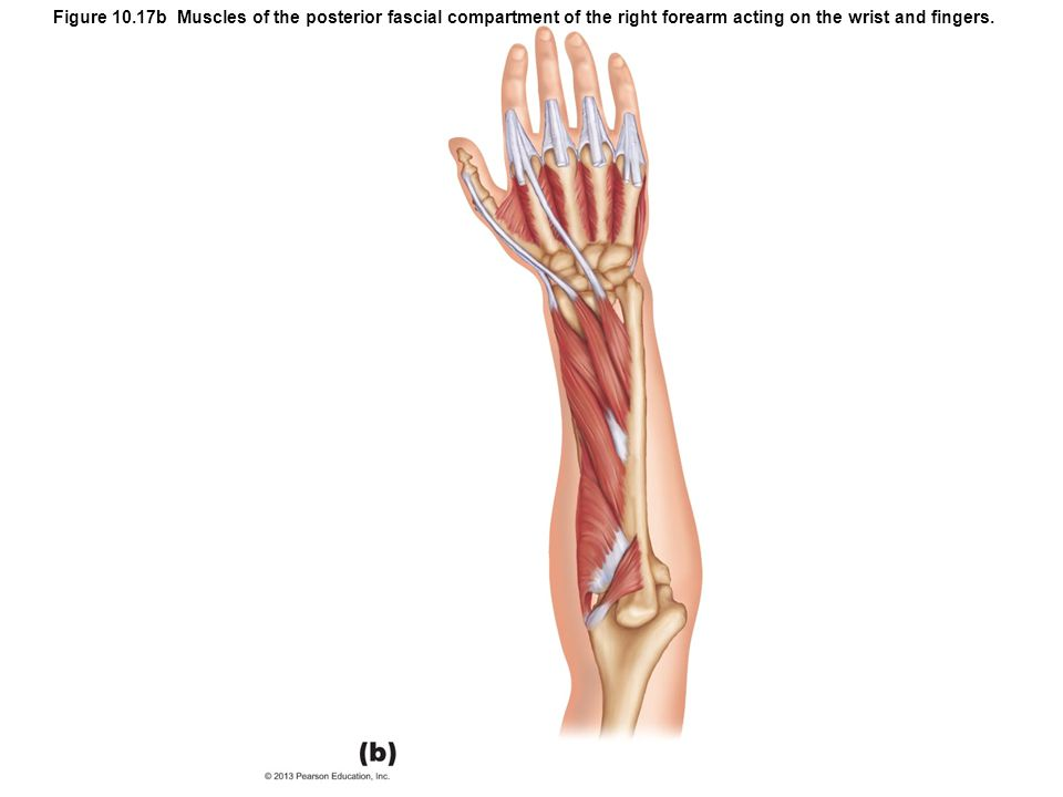Figure 10.17b Muscles of the posterior fascial compartment of the right forearm acting on the wrist and fingers.