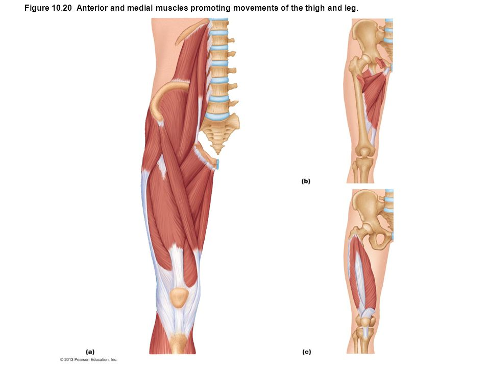 Figure 10.20 Anterior and medial muscles promoting movements of the thigh and leg.