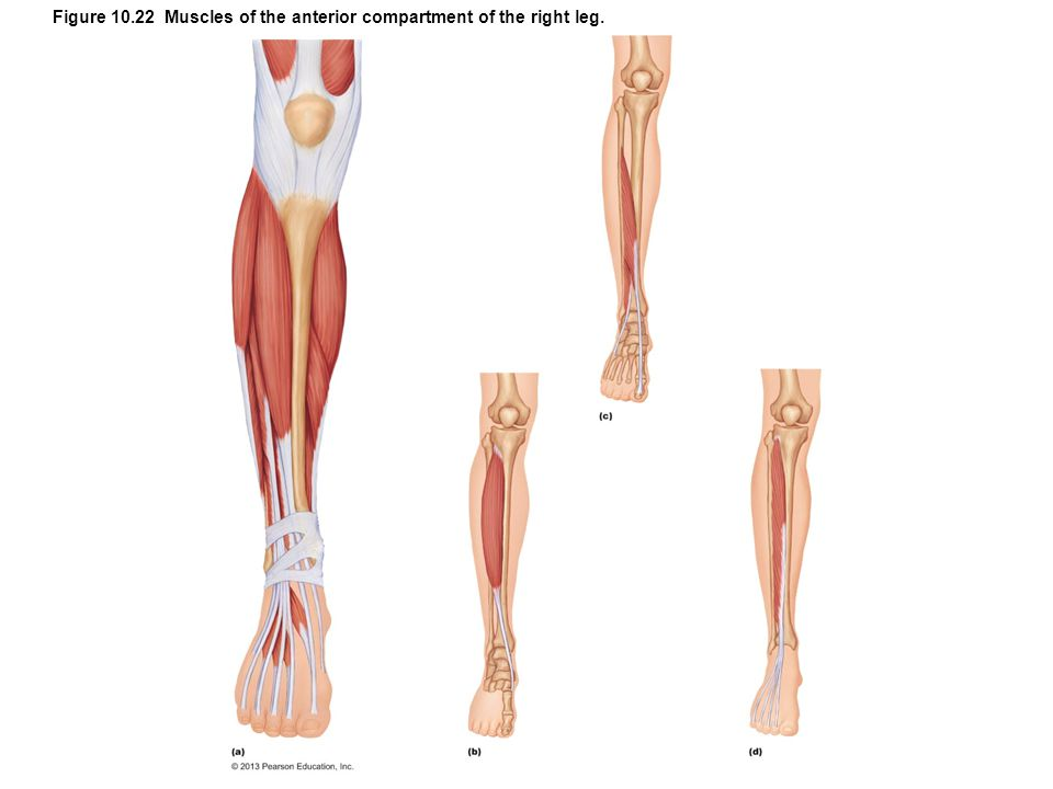 Figure 10.22 Muscles of the anterior compartment of the right leg.