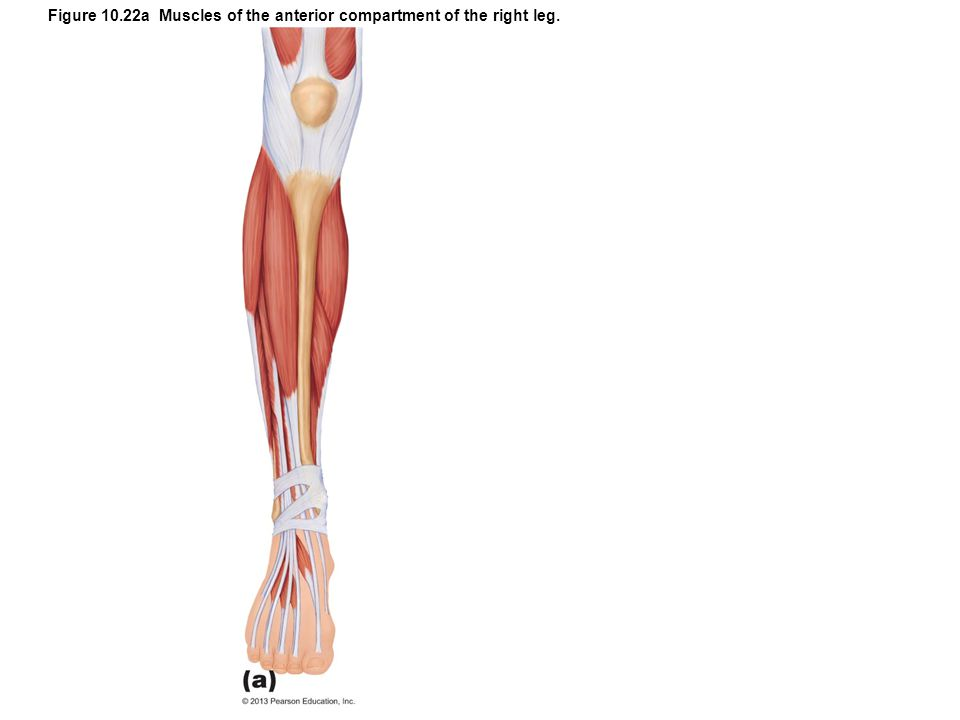 Figure 10.22a Muscles of the anterior compartment of the right leg.