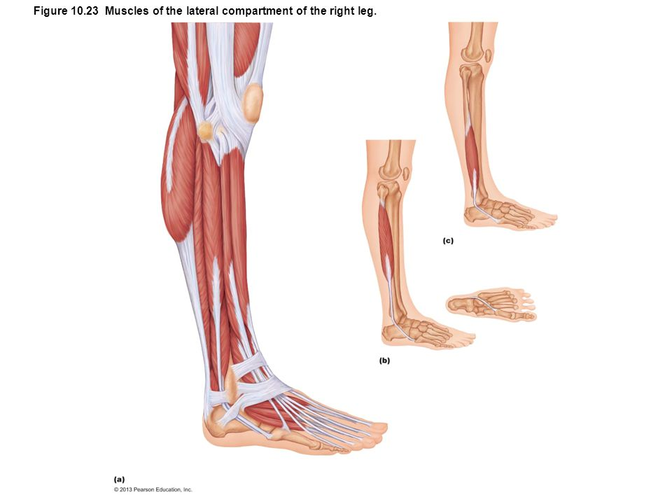 Figure 10.23 Muscles of the lateral compartment of the right leg.