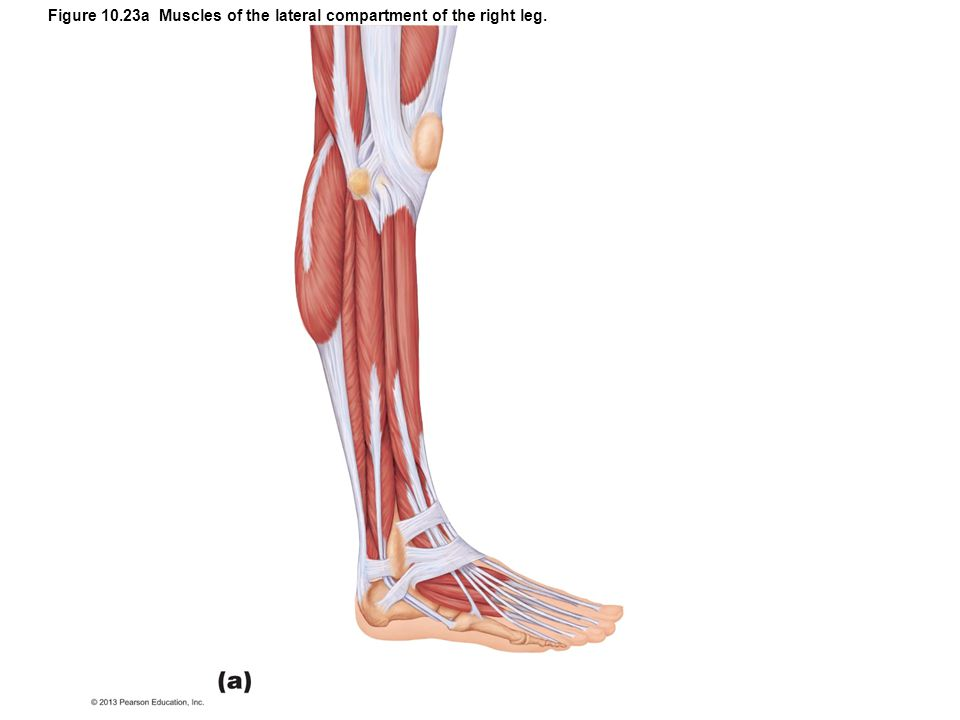 Figure 10.23a Muscles of the lateral compartment of the right leg.