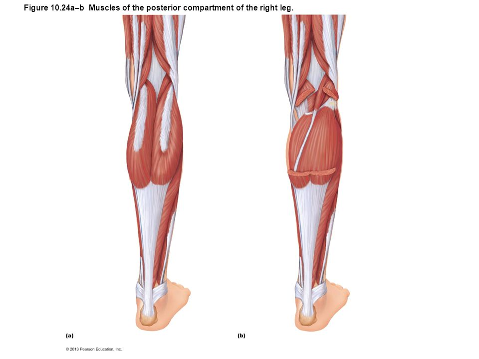 Figure 10.24a–b Muscles of the posterior compartment of the right leg.