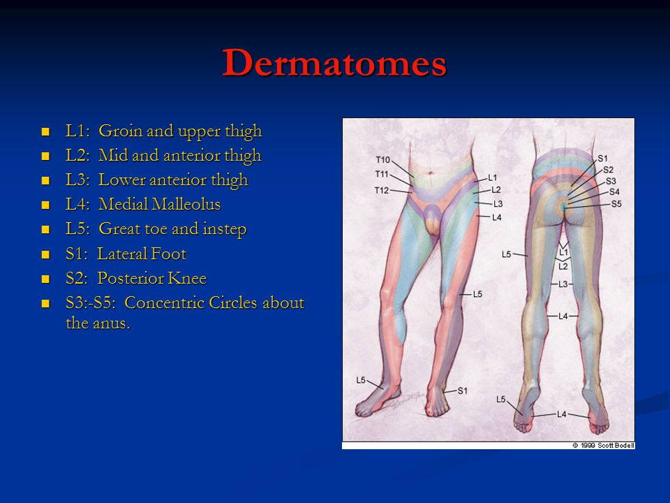 Dermatomes L1: Groin and upper thigh L2: Mid and anterior thigh