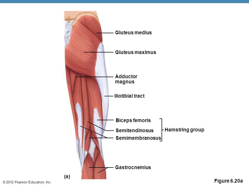 Gluteus medius Gluteus maximus. Adductor magnus. Iliotibial tract. Biceps femoris. Semitendinosus.