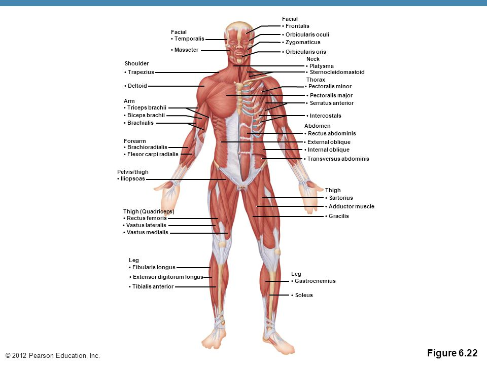 Figure 6.22 Facial • Frontalis Facial • Orbicularis oculi • Temporalis