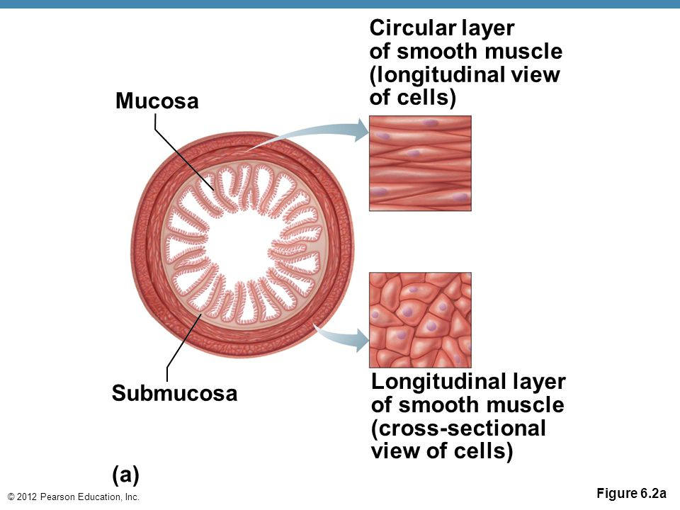 Longitudinal layer of smooth muscle (cross-sectional view of cells)
