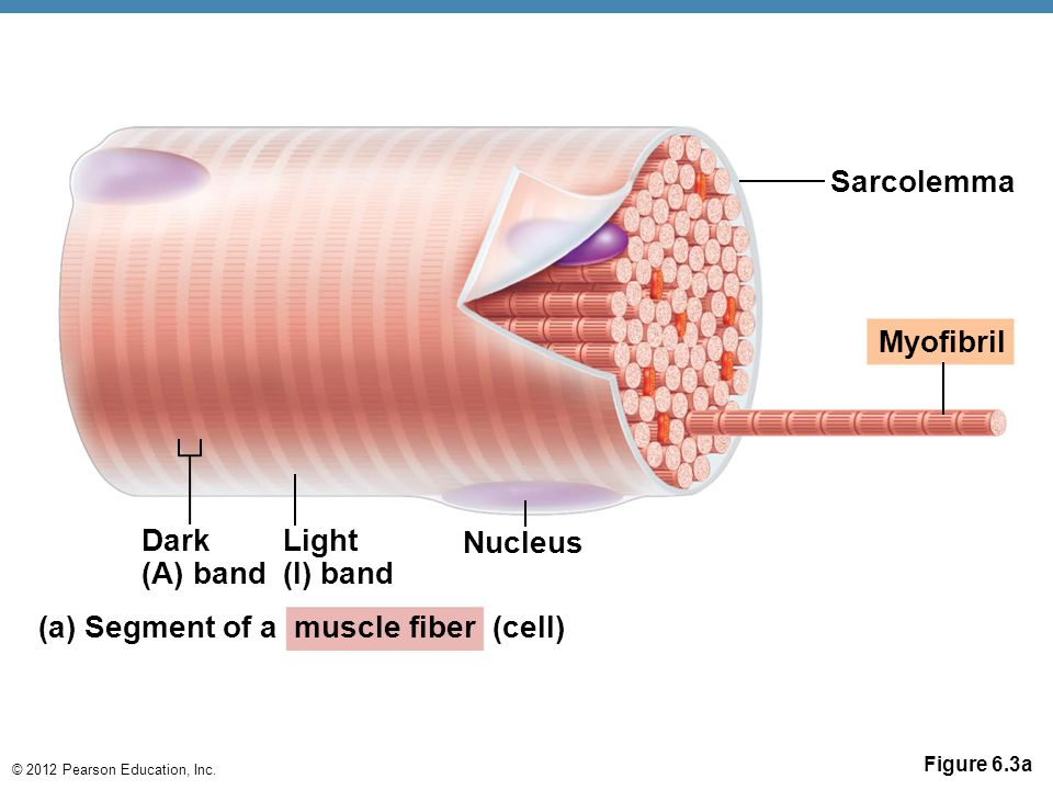 (a) Segment of a muscle fiber (cell)