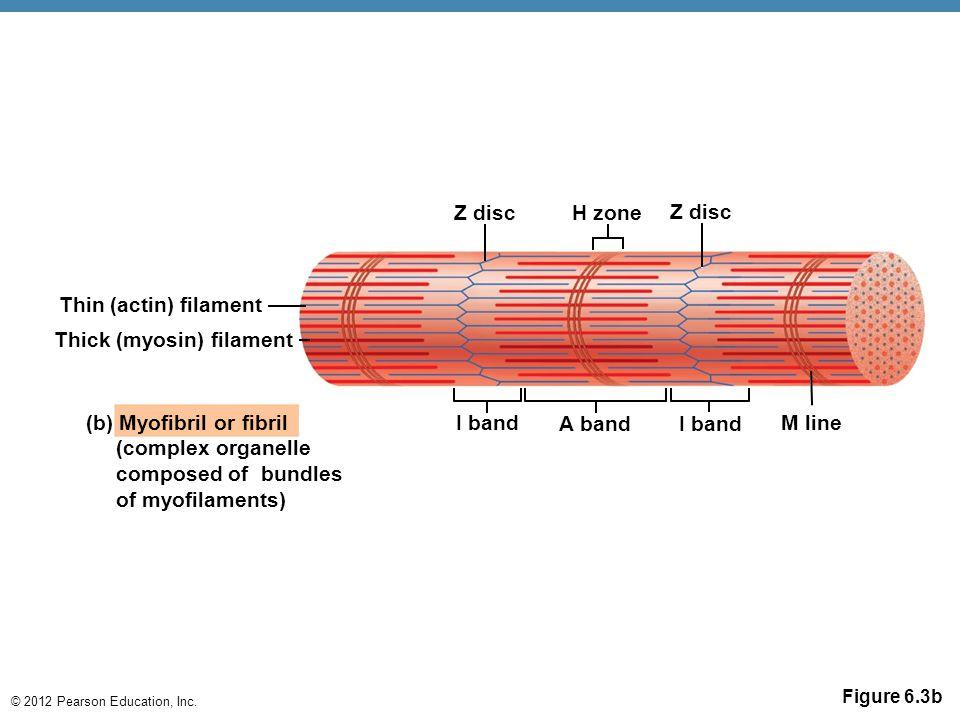 Thick (myosin) filament