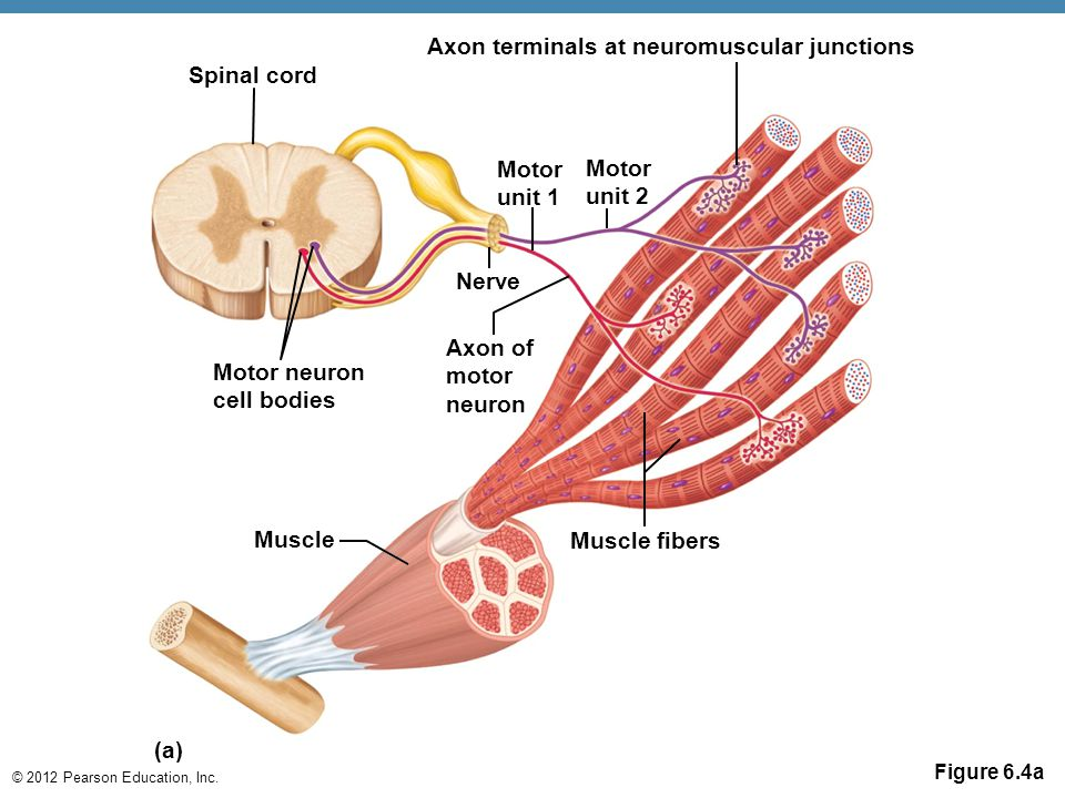 Axon terminals at neuromuscular junctions Spinal cord