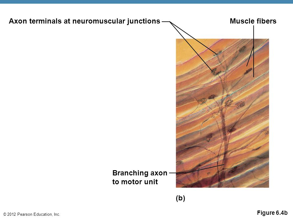 Axon terminals at neuromuscular junctions Muscle fibers