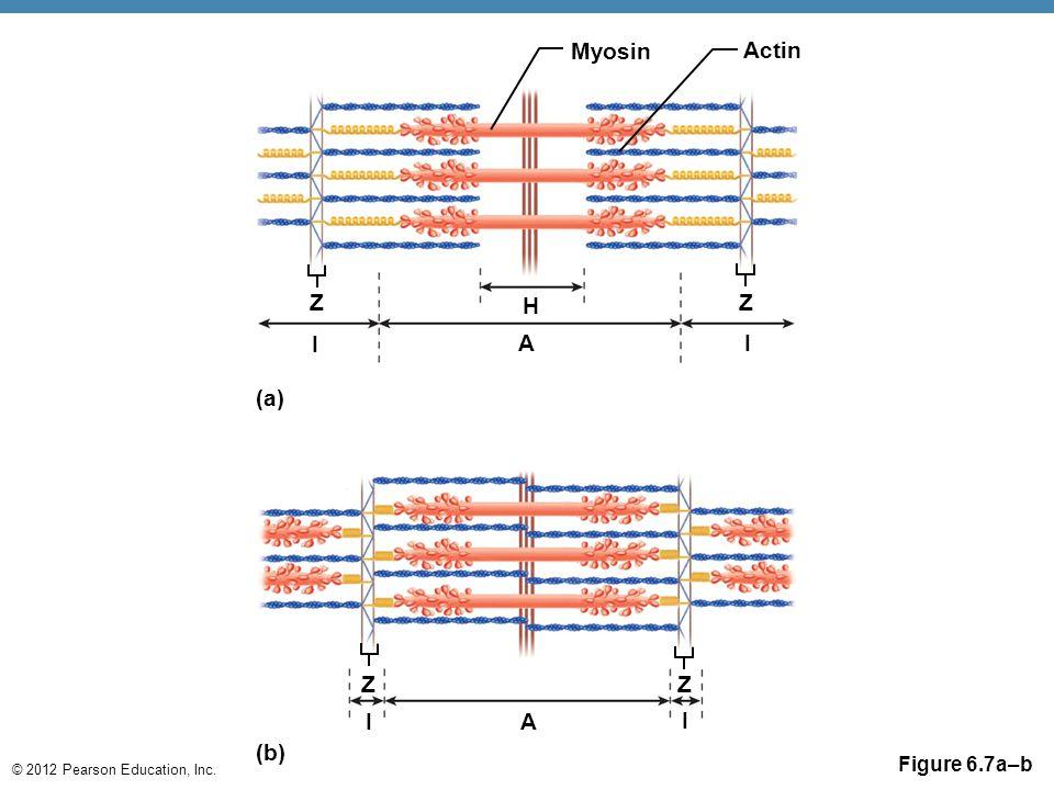 Myosin Actin Z H Z I A I (a) Z Z I A I (b) Figure 6.7a–b