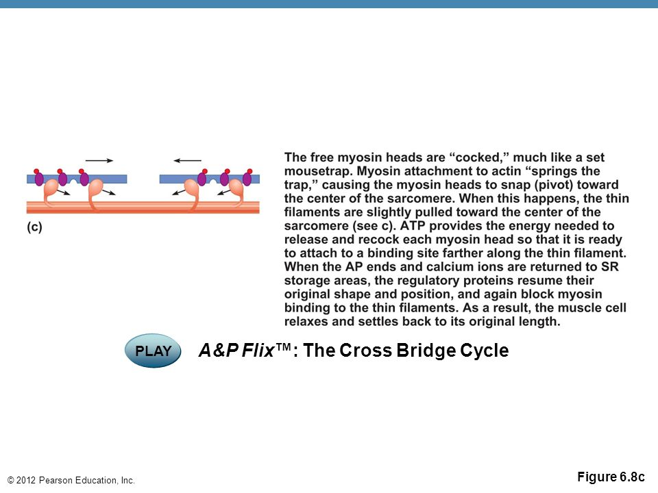 A&P Flix™: The Cross Bridge Cycle