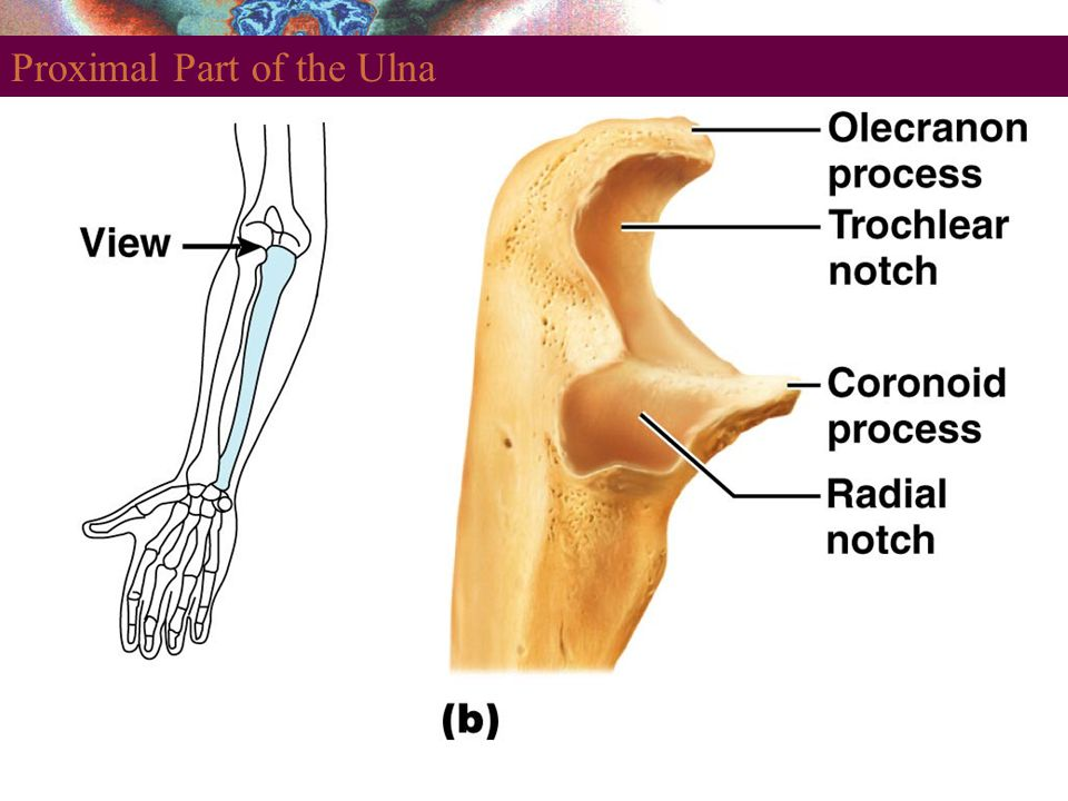 Proximal Part of the Ulna