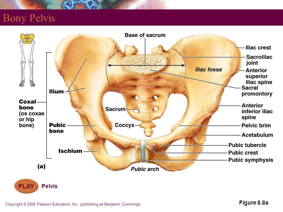 Bony Pelvis PLAY Pelvis Figure 8.8a