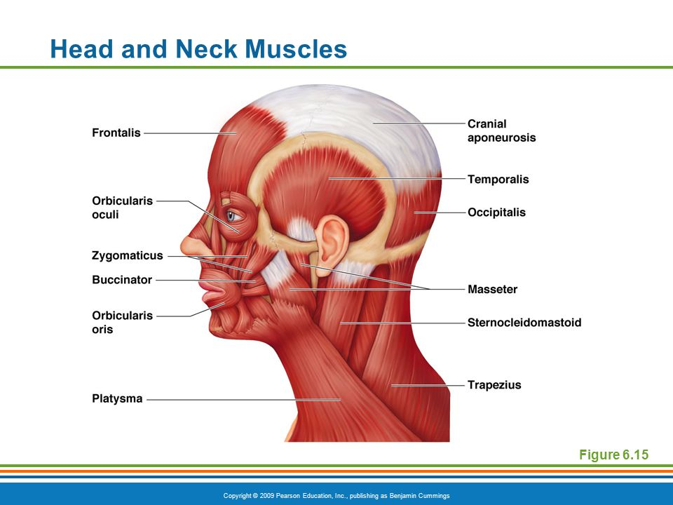 Head and Neck Muscles Figure 6.15