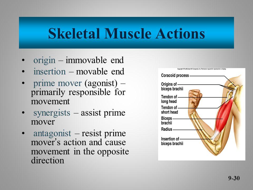 Skeletal Muscle Actions