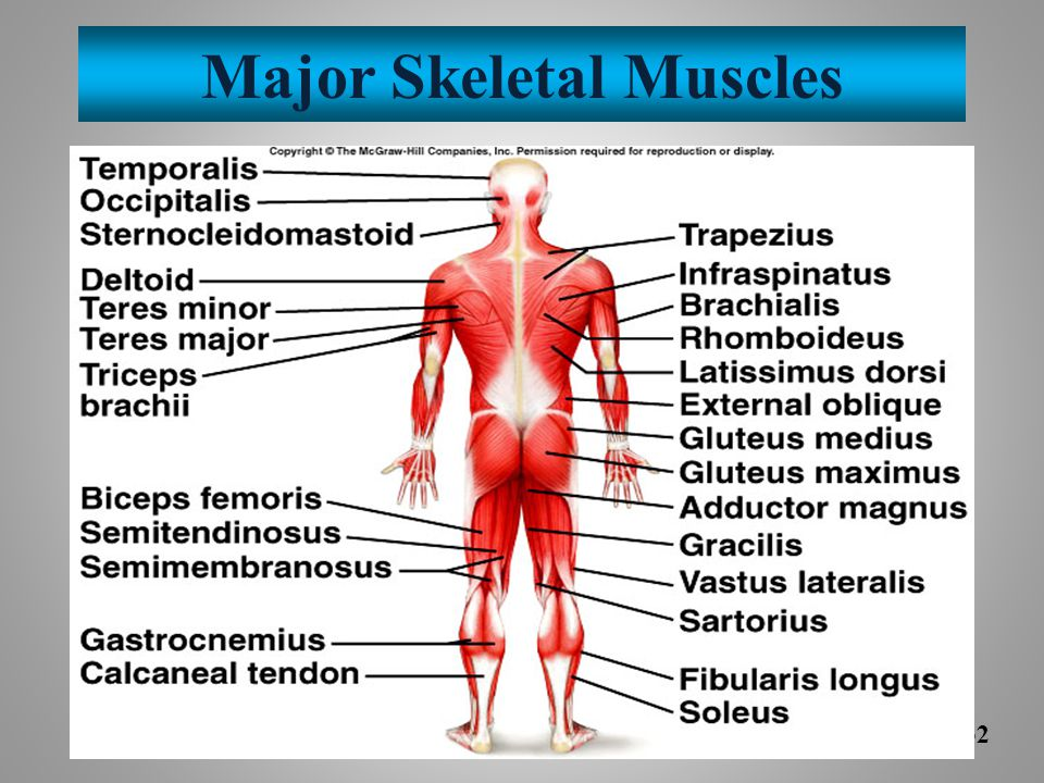 Major Skeletal Muscles
