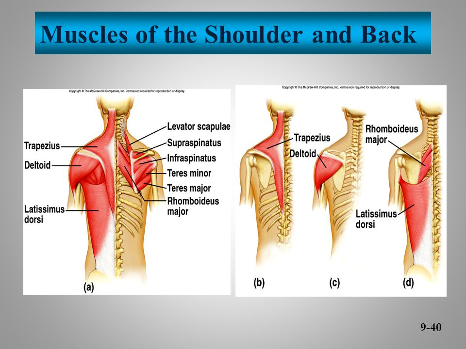 Muscles of the Shoulder and Back