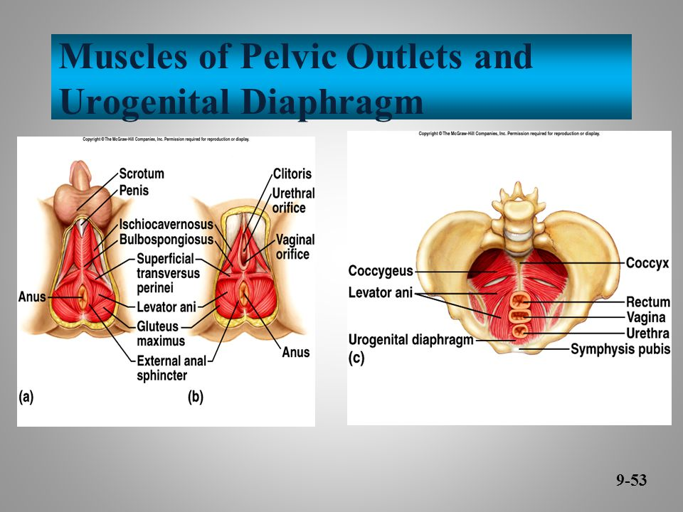 Muscles of Pelvic Outlets and Urogenital Diaphragm