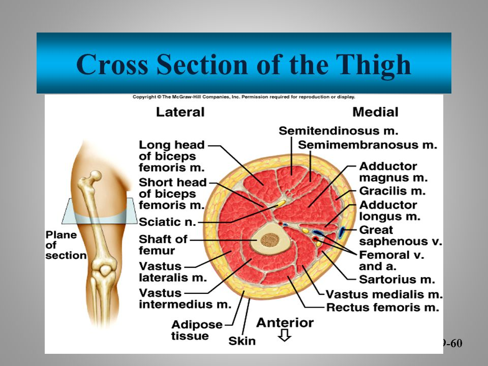 Cross Section of the Thigh