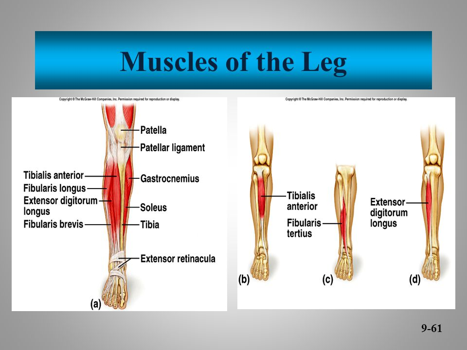 Muscles of the Leg 9-61
