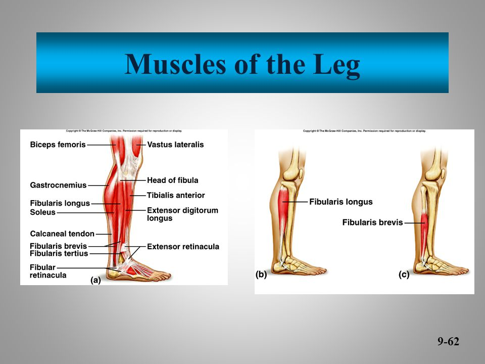 Muscles of the Leg 9-62