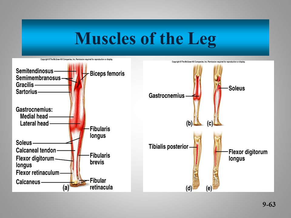 Muscles of the Leg 9-63