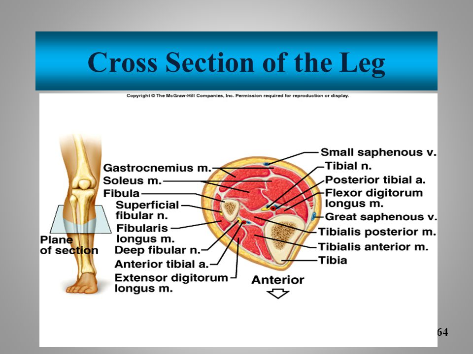 Cross Section of the Leg
