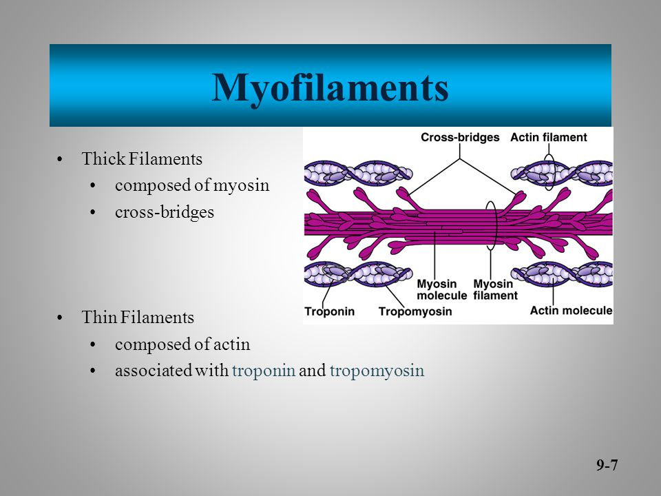 Myofilaments Thick Filaments composed of myosin cross-bridges