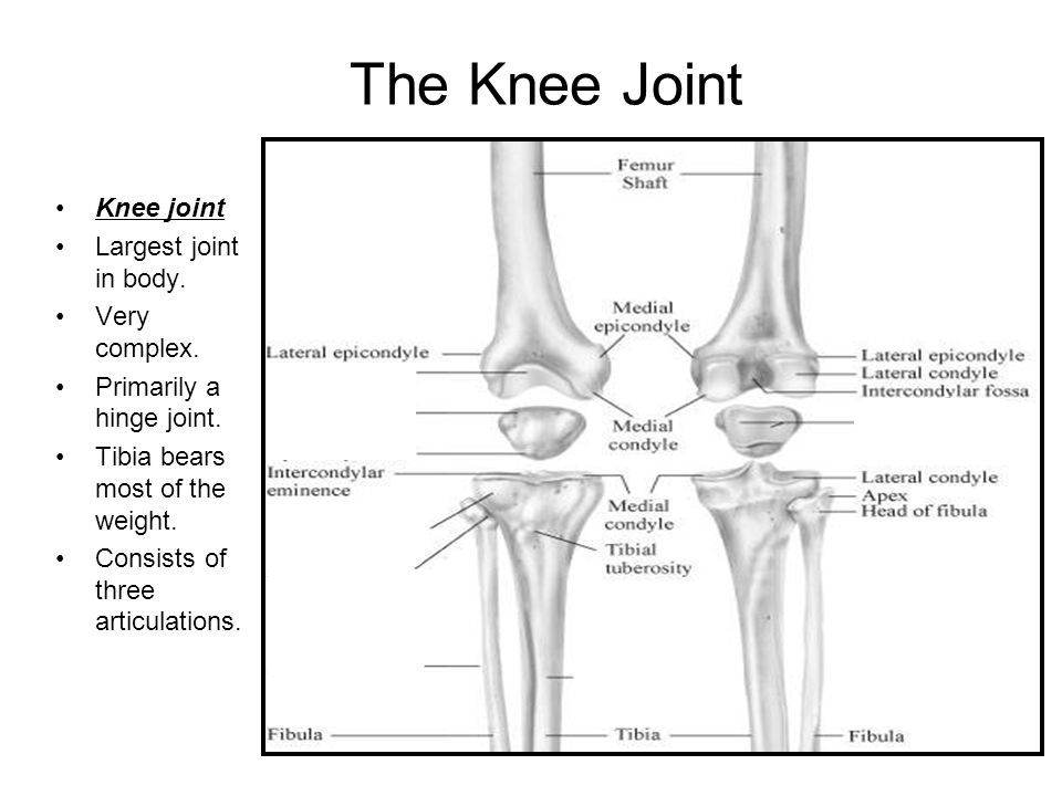 The Knee Joint Knee joint Largest joint in body. Very complex.