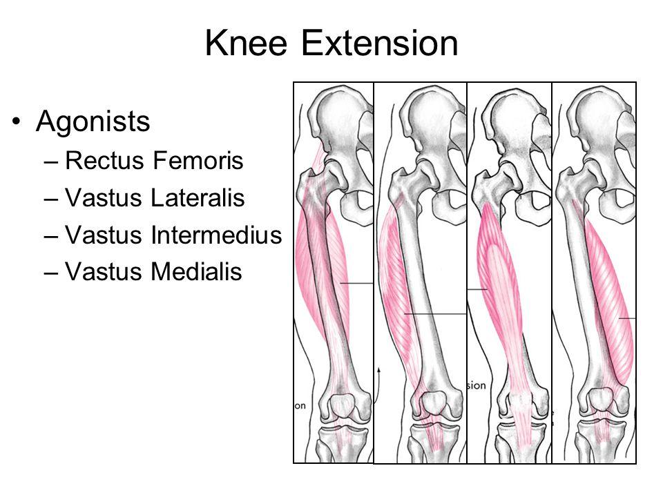 Knee Extension Agonists Rectus Femoris Vastus Lateralis