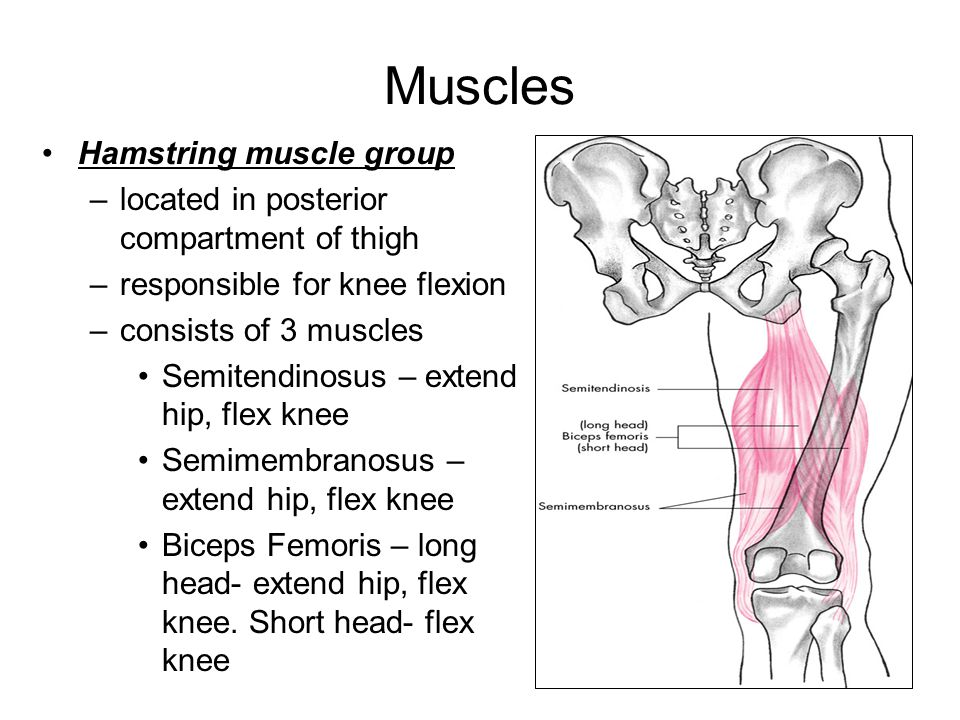 Muscles Hamstring muscle group